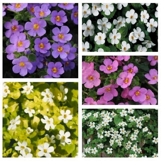 Bacopa surprise mix 5 plug plants from Hanging Basket Plants