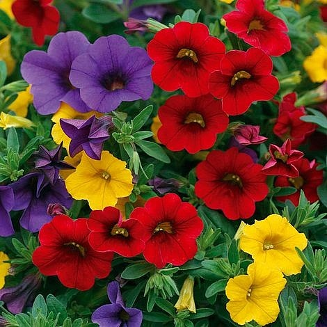 Trixi Bolero 5 plug plants available from 25 of march Trixi hanging baskets