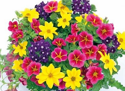 Trixi Cracker 5 plug plants available from 21 of march Trixi hanging baskets