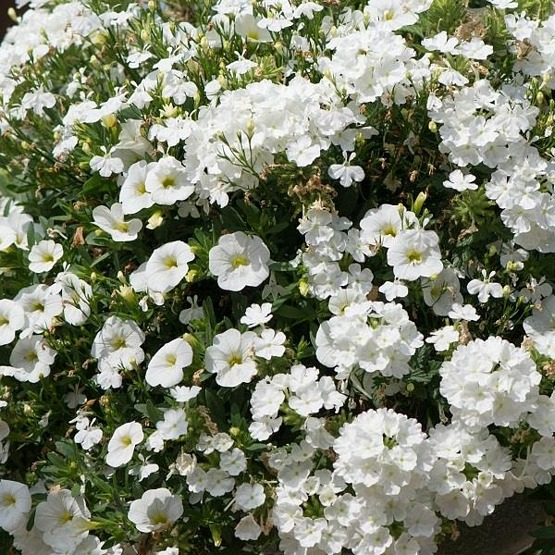 Trixi White wedding 5 plug plants available from 21 March Trixi hanging baskets
