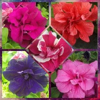 Petunias double flowered 40 plug plants.