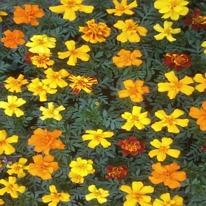 Marigolds French 40 plug plants.