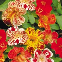 Mimulus magic mixed 40 plug plants.