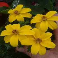 Bidens golden star  5 plug plants