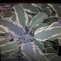 Herbs Sage tri colour 5 plug plants.