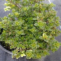 Herbs Thyme Lemon variegated  5 plug plants.