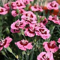 Dianthus Evening Star 5 plug plants from
