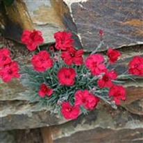 Dianthus Fusilier 5 plug plants from