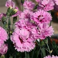 Dianthus Pop Star 5 plug plants from