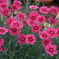 Dianthus Red Dwarf 5 plug plants from