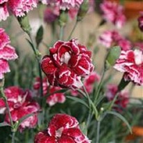 Dianthus Whatfield Gem 5 plug plants from