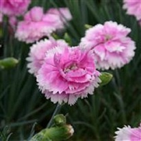 Dianthus Iced Gem 5 plug plants from