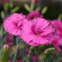 Dianthus Tickled Pink 5 plug plants from