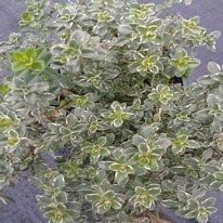 Herbs Thyme Silver Queen 5 plug plants from