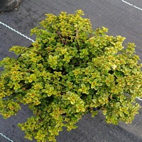 Herbs Thyme Golden 5 plug plants from