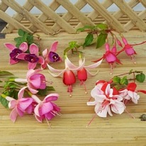 Trailing fuchsia mixed surprise 5 plug plants from