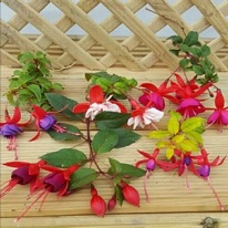 Hardy fuchsia mixed surprise 5 plug plants from