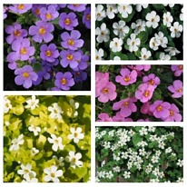 Bacopa surprise mix 5 plug plants from