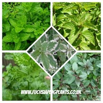 Herbs mint mixed 5 plug plants from