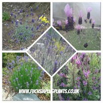 Herbs lavender mixed 5 plug plants from