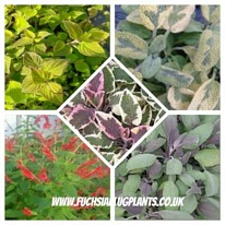 Herbs sage mixed 5 plug plants from
