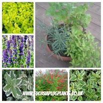Herbs general mix(c)  5 plug plants from