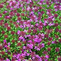 Herb Thyme red 5 plug plants from