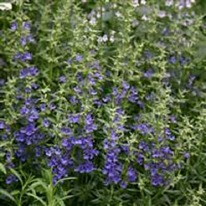 Herb Hyssopus officinalis 'Blue'