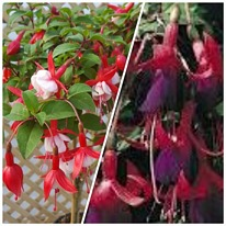 Twin pack fuchsias Snowcap and Brutus 10 plug plants